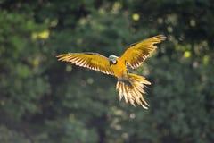 Arara azul-e-amarela de aterrissagem - ararauna das aros no luminoso Foto de Stock