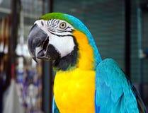 A arara azul-e-amarela, está um grande sul - papagaio americano & x28; Ararauna& x29 das aros; Imagem de Stock