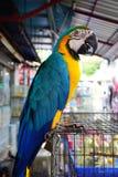 A arara azul-e-amarela, está um grande sul - papagaio americano & x28; Ararauna& x29 das aros; Imagens de Stock