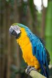 Arara azul e amarela, Indonésia Fotografia de Stock