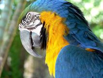 Arara bird. Wild Arara Yellow Brazilian Bird sleeping - step 3 - waking up Stock Photo