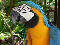 Arara bird. Wild Arara Yellow Brazilian Bird Stock Photo