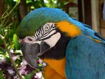 Arara bird. Wild Arara Yellow Brazilian Bird Royalty Free Stock Photos