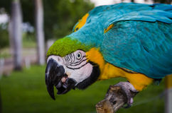 Arara. Blue Arara in wildlife colorful Royalty Free Stock Photos