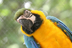 Arara brazilian bird. Arara, brazilian bird in zoo Stock Photos