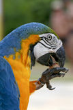 Arara brazilian bird. Macaw arara brazilian bird eating seed stock photography