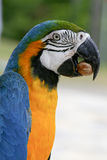 Arara brazilian bird. Macaw arara brazilian bird eating seed Stock Photos