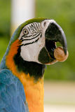 Arara brazilian bird Royalty Free Stock Photo