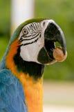 Arara brazilian bird. Macaw arara brazilian bird eating seed Royalty Free Stock Photo