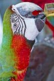 Arara colorida do pássaro do papagaio, a verde e a vermelha imagens de stock royalty free