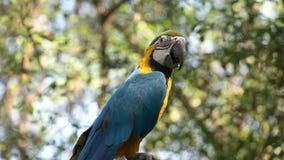 Arara do azul e do ouro empoleirada em uma árvore em Equador filme