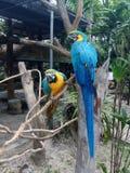 Arara do papagaio Fotos de Stock Royalty Free