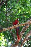 Arara na árvore Imagem de Stock Royalty Free