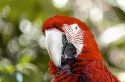 A arara vermelha do papagaio olha o close up da câmera foto de stock royalty free