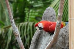 Arara vermelha em rochas Fotografia de Stock Royalty Free
