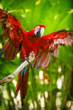 Arara Vermelho-e-verde Foto de Stock Royalty Free