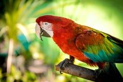 arara Vermelho-e-verde (aros-chloropterus) Fotografia de Stock Royalty Free