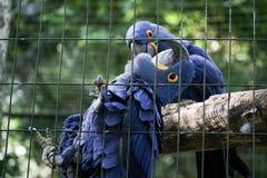 Araras azules junto en jaula Fotos de archivo