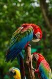 Araras coloridas dos pares no log, colorido na natureza Fotografia de Stock Royalty Free