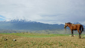 Ararat landscape. Landscape of Ararat mountain with horse, Turkey Stock Image