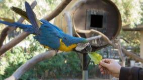 Ararauna ή μπλε-και-κίτρινο Ara macaw Στοκ εικόνα με δικαίωμα ελεύθερης χρήσης