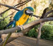 Ararauna ή μπλε-και-κίτρινο Ara macaw Στοκ Φωτογραφία