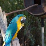 Ararauna ή μπλε-και-κίτρινο Ara macaw Στοκ Εικόνα