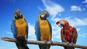 Ararauna και macaw παπαγάλος Ara Στοκ Εικόνες