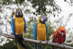 Ararauna και macaw παπαγάλος Ara στην πέρκα του Στοκ Εικόνα