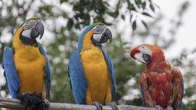 Ararauna και macaw παπαγάλος Ara στην πέρκα του Στοκ φωτογραφία με δικαίωμα ελεύθερης χρήσης