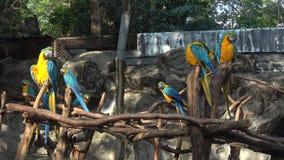 ararauna Amarillo-azul del Ara de los macaws, Chiang Mai tailandia almacen de metraje de vídeo