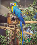 Ararauna Ara, εξωτικό πουλί Στοκ εικόνες με δικαίωμα ελεύθερης χρήσης