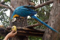 Ararauna Ara μπλε-και-κίτρινου macaw σε ένα δέντρο που τρώει ένα μάγκο Στοκ Φωτογραφίες