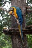 Ararauna Ara μπλε-και-κίτρινου macaw σε ένα δέντρο που τρώει ένα μάγκο Στοκ φωτογραφία με δικαίωμα ελεύθερης χρήσης