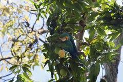 Ararauna Ara μπλε-και-κίτρινου macaw σε ένα δέντρο που τρώει ένα μάγκο Στοκ εικόνες με δικαίωμα ελεύθερης χρήσης