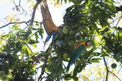 Ararauna Ara μπλε-και-κίτρινου macaw σε ένα δέντρο που τρώει ένα μάγκο Στοκ εικόνα με δικαίωμα ελεύθερης χρήσης