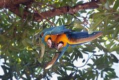 Ararauna Ara μπλε-και-κίτρινου macaw σε ένα δέντρο που τρώει ένα μάγκο Στοκ Φωτογραφία