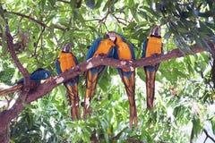 Ararauna Ara μπλε-και-κίτρινου macaw σε ένα δέντρο που τρώει ένα μάγκο Στοκ φωτογραφίες με δικαίωμα ελεύθερης χρήσης