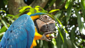 Ararauna Ara, μπλε πουλί macaw Στοκ φωτογραφία με δικαίωμα ελεύθερης χρήσης