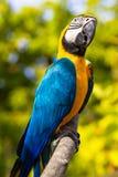 Ararauna Ara ή macaw. Στοκ Φωτογραφία