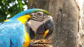 Ararauna Ara macaw Στοκ φωτογραφία με δικαίωμα ελεύθερης χρήσης