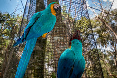 Aras, εθνικό πάρκο Iguazu, Βραζιλία Στοκ εικόνες με δικαίωμα ελεύθερης χρήσης