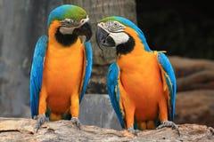 Aras (ara bleu et jaune) Photo libre de droits