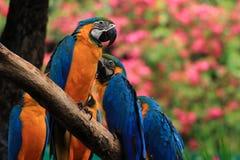 Aras (ara bleu et jaune) Photos libres de droits