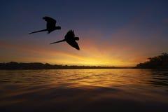 Aras bleus dans la région d'Amazone Photo libre de droits