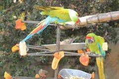 Aras bleus et jaunes mangeant du fruit Photos libres de droits