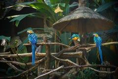 Aras bleus et jaunes sur la forêt Photos libres de droits