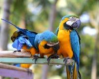 Aras bleus lumineux Photo stock