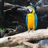 Aras colorés se reposant sur le rondin Photos libres de droits
