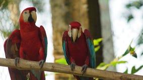 Aras sur une branche en Amazone équatorienne Noms communs : Guacamayo ou Papagayo Image stock